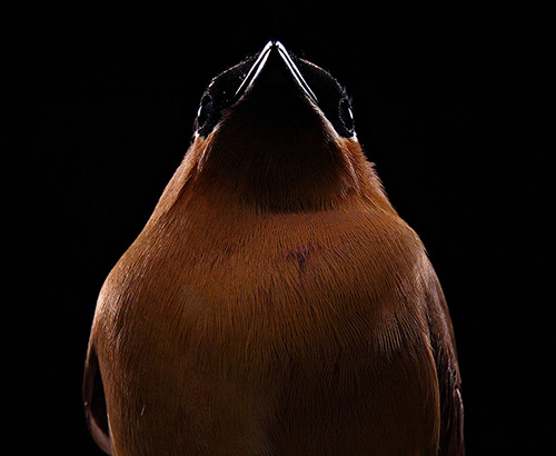 Bob Croslin photograph cedar waxwing