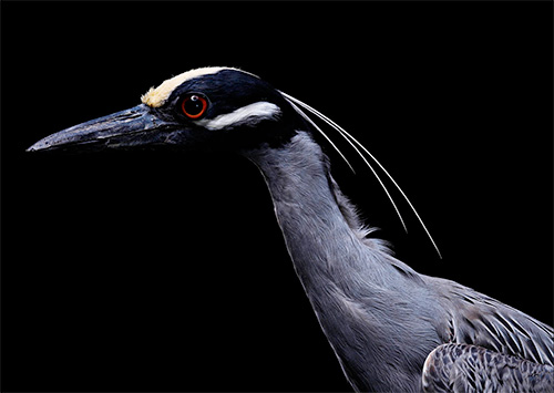 Bob Croslin photography yellow crowned night heron