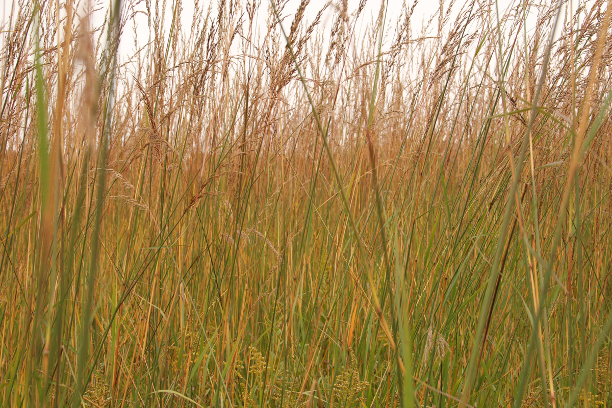 illinois prairie grass