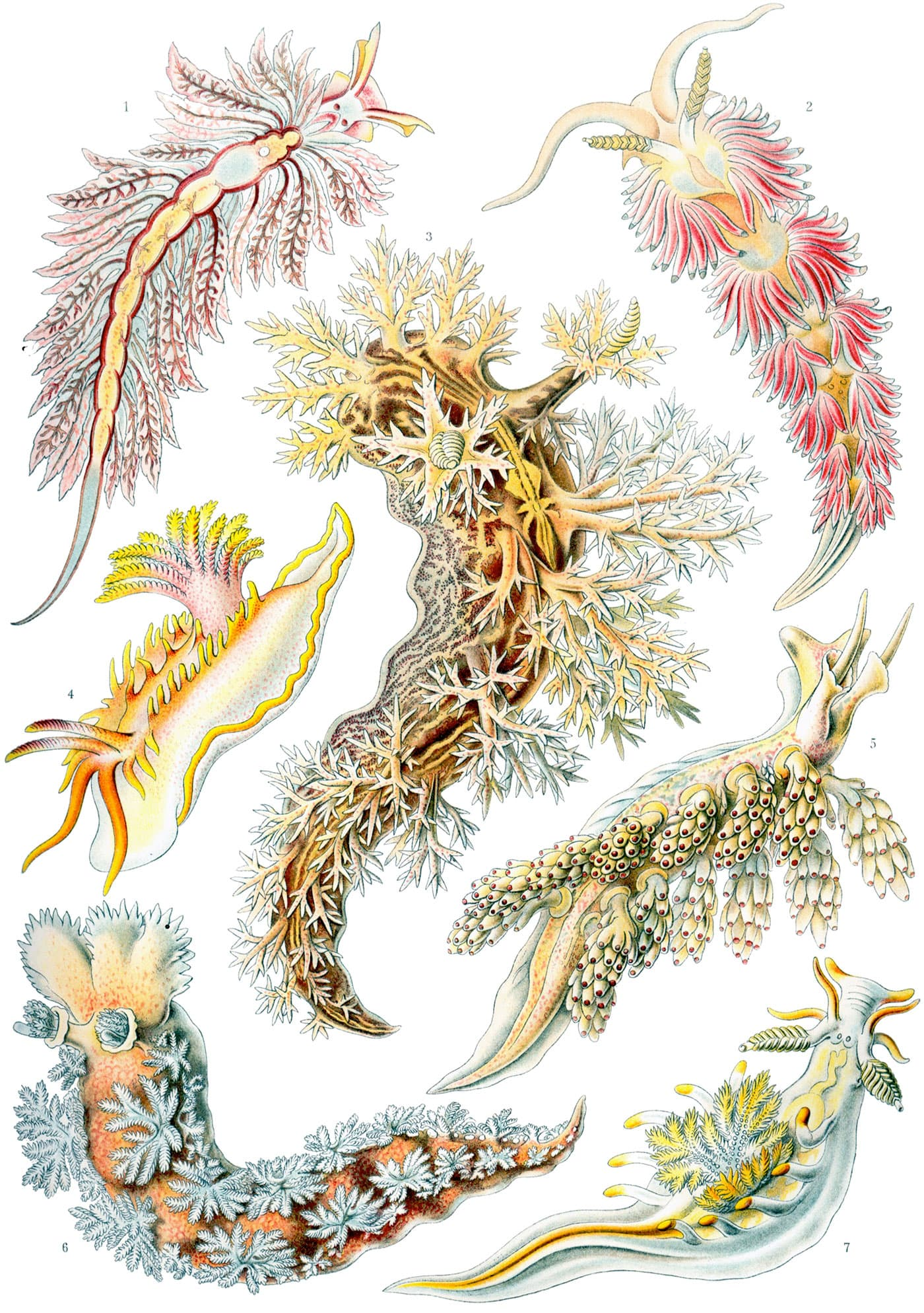 ernst-haeckel, scientific illustration