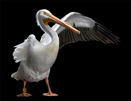Bob Croslin photography, white pelican